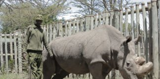 Kenyan-Collective-Sudan-Last-Male-Northern-White-Rhino