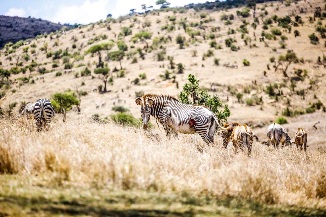 The Interesting Reasons Why The Grevy's Zebra Thrives In Northern Kenya